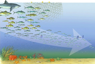 Pacific bluefin tuna population drops 97 due to for What saltwater fish are in season now